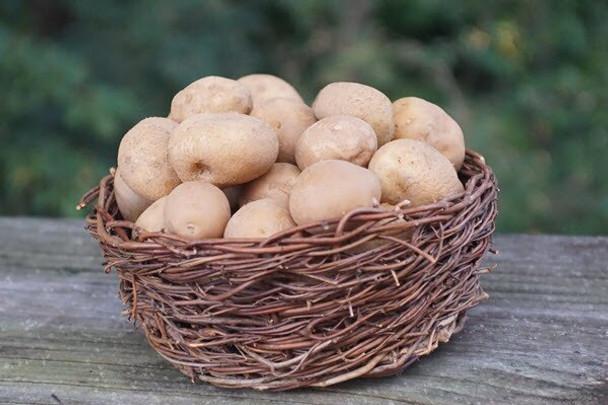 New! Medium Yukon Gold Potatoes from Jersey Hollow farm 5lb