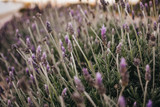 The Relaxing, Sleep-Promoting, Health-Boosting Powers of Lavender