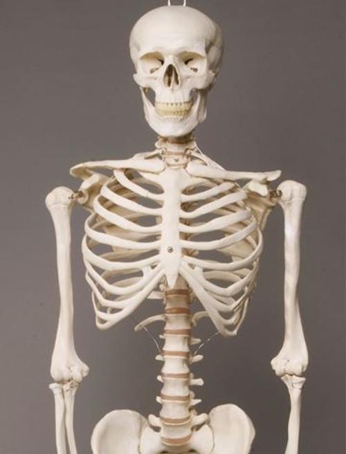 Harvey Skeleton 2nd Class