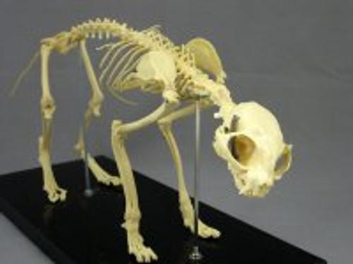 Cat  Feline skeleton