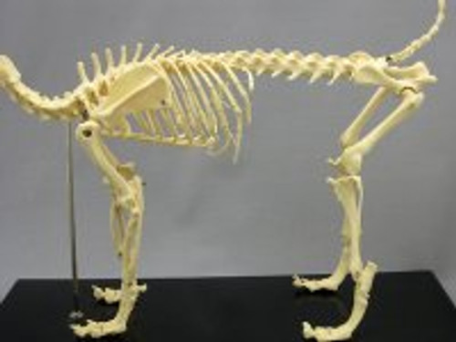 Dog Canine Skeleton