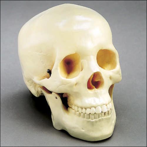 Budget 2 Piece Skull