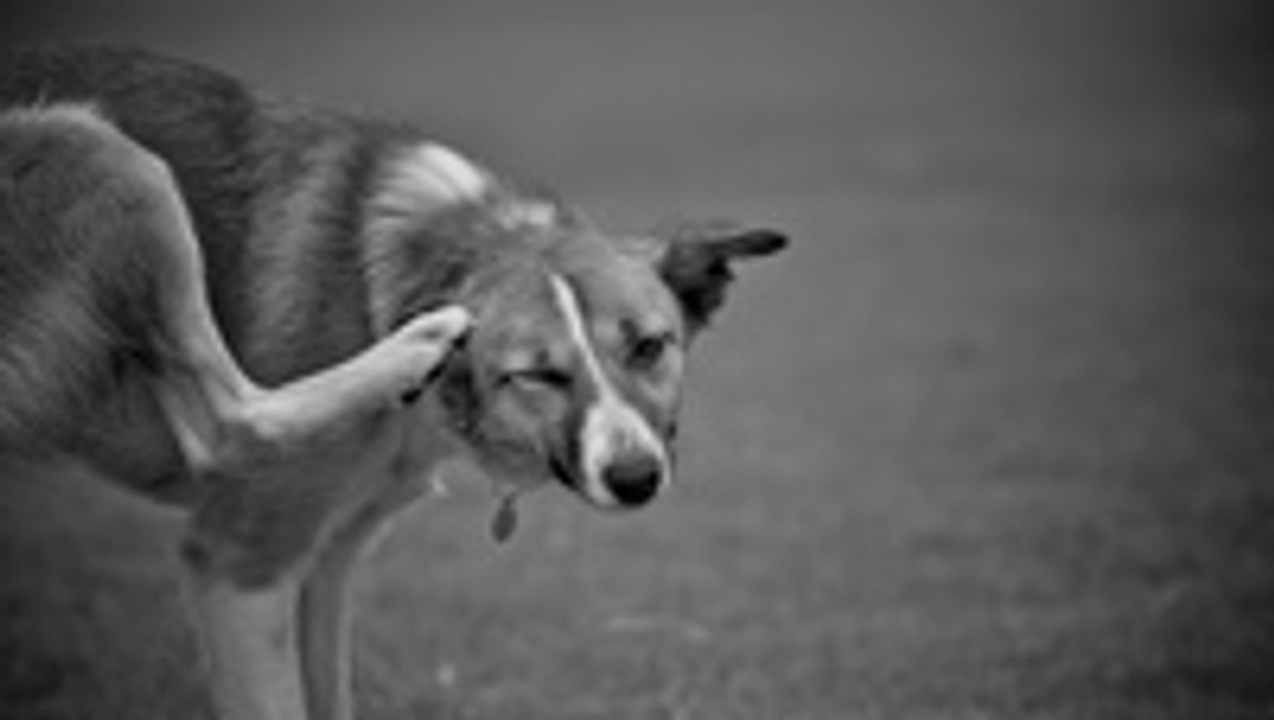 Seasonal Allergies: How Do They Affect My Dog?