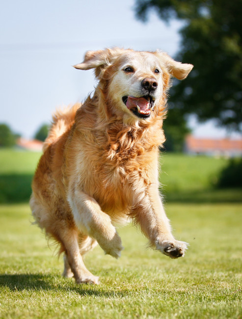 Keeping Aging Fido Happy: The Keys to a Healthy Senior Canine Life