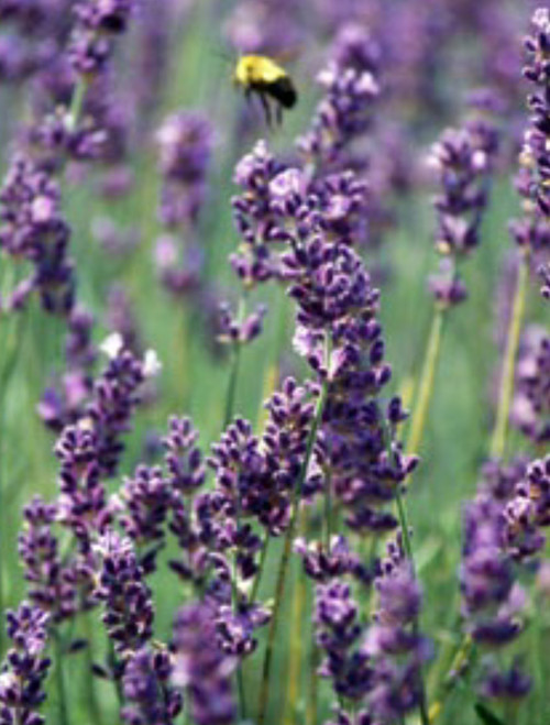Lavender: Great for healing  Relaxing & Calming Lavender Lip Balm