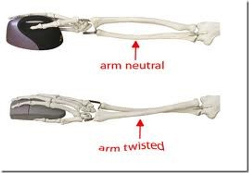 Forearm bones comparison vertical and flat mouse