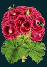 Geranium Greetings Card by Madame Treacle.