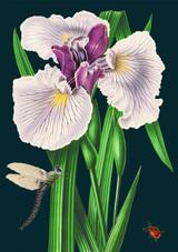 Blue Iris Greetings Card by Madame Treacle.