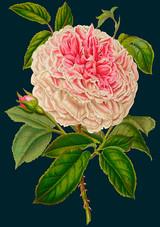 Rose Greetings Card by Madame Treacle.