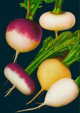 Turnip Greetings Card by Madame Treacle.