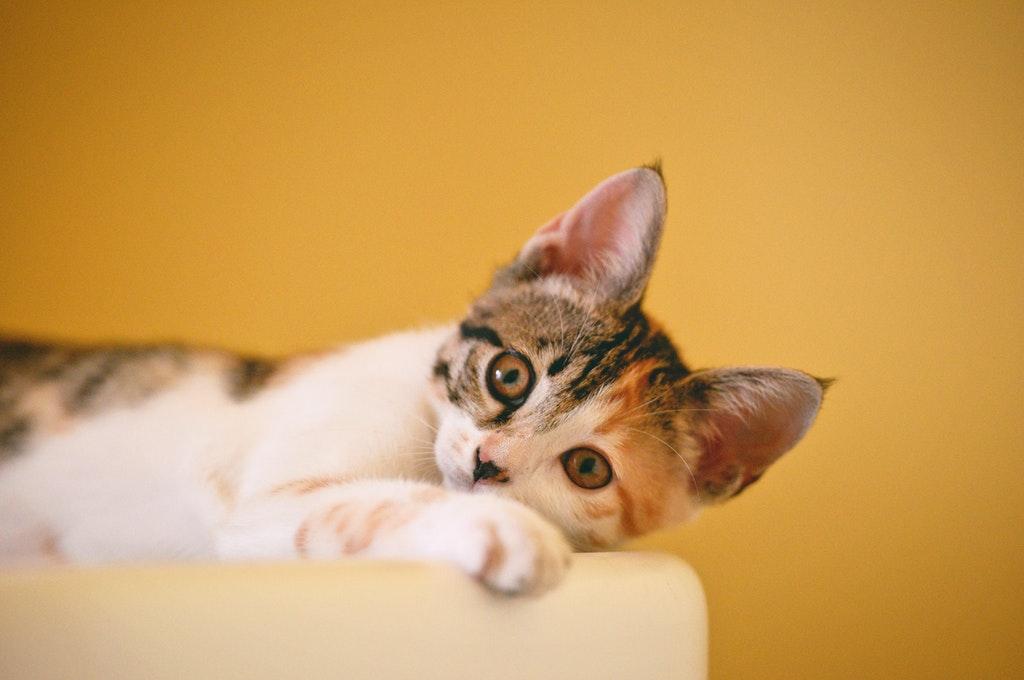 calico-cat-on-focus-photo-1404819.jpg