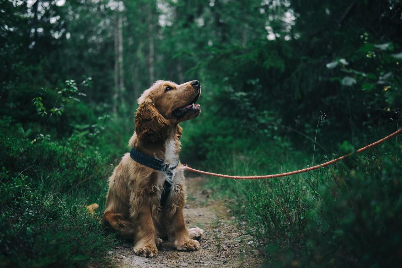 english-cocker-spaniel-puppy-sitting-on-ground-beside-grass-1254140-1-.jpg