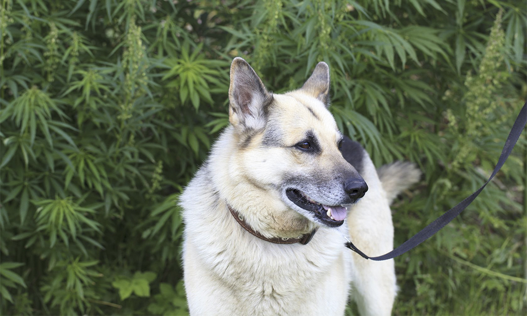 hemp-field-and-dog.jpg