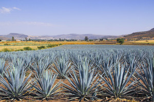 California to Distill First Agave Spirit in its History