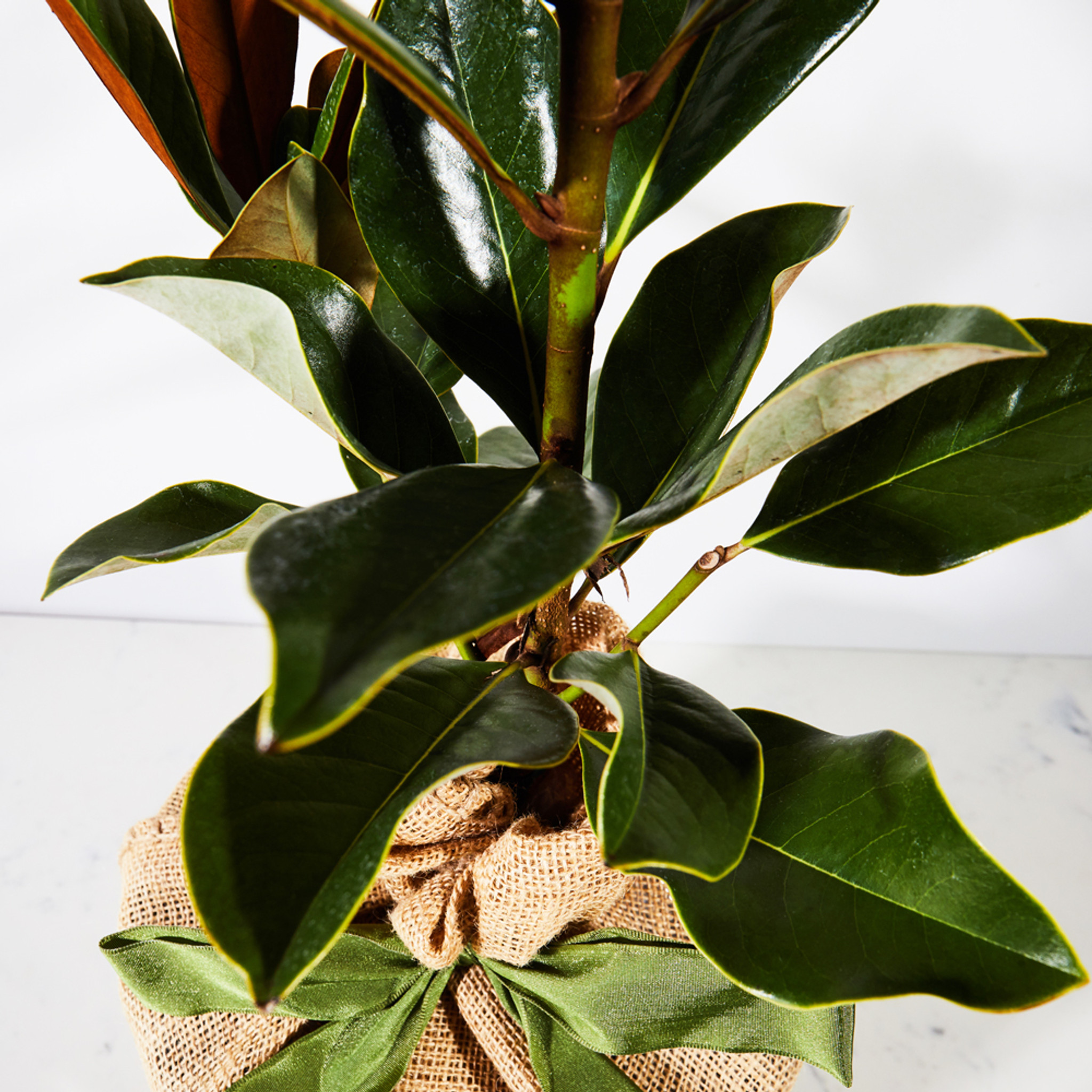 Southern Magnolia Tree By The Magnolia Company Fieldshop By Garden