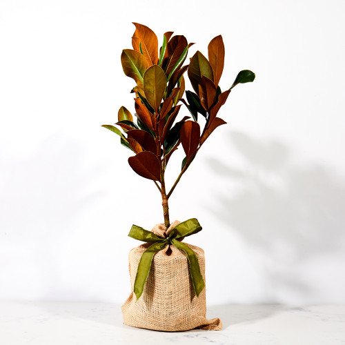 Southern Magnolia Tree by The Magnolia Company