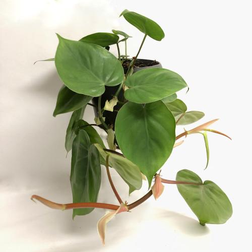 Heartleaf Philodendron (medium size)