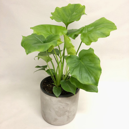 Philodendron Hope