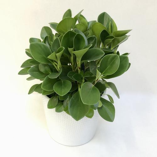 "Peperomia Obtusifolia ""Peperomia Green"""