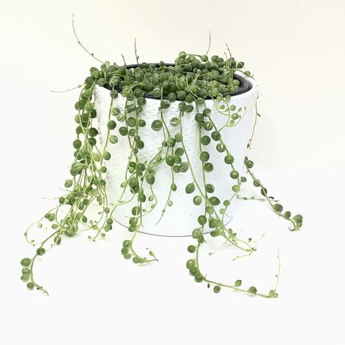 Variegated String of Pearls