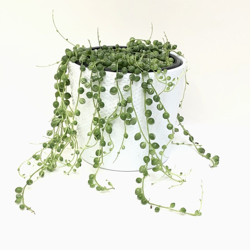 Variegated String of Pearls