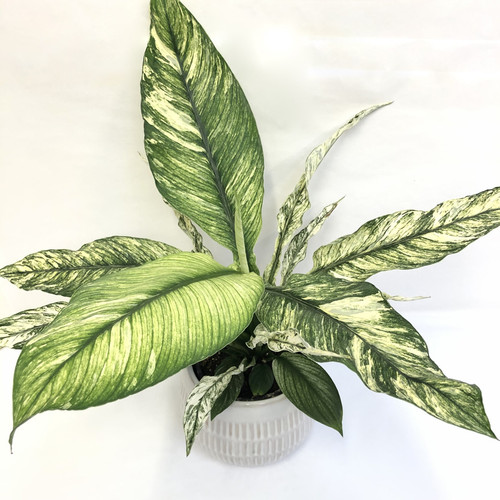 Peace Lily Sensation Variegated
