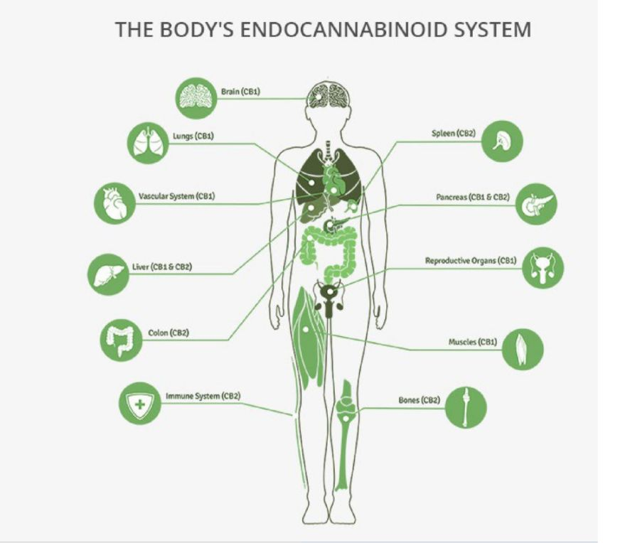 body-endocannabinoid-system-opt.jpg