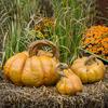 DIY Concrete Pumpkins, Pumpkins Cinderella Set of Three Stone Pumpkins, Fall Concrete Decor, Cement pumpkins,