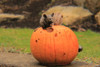 Fall Decor Pumpkin, halloween Pumpkin, Concrete Pumpkin, Outdoor Halloween decoration.