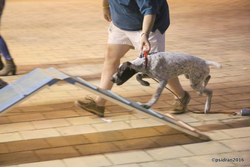 1. Puppy/Star Puppy (Jan 11-Feb 15) 7:30 PM - Tropical Park Equestrian Center. Instructor: Laurie
