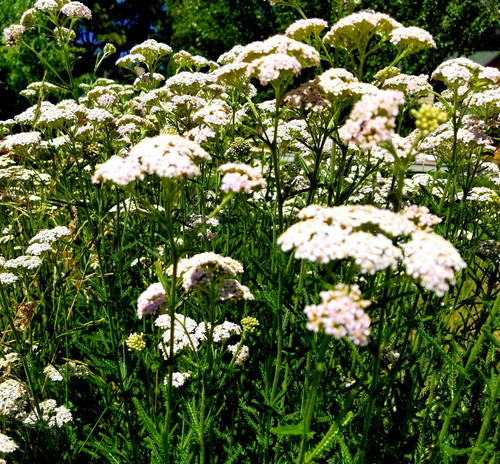 My yarrow patch in full bloom.