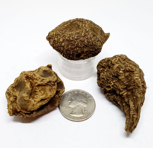High John the Conqueror Root 16 gram roots