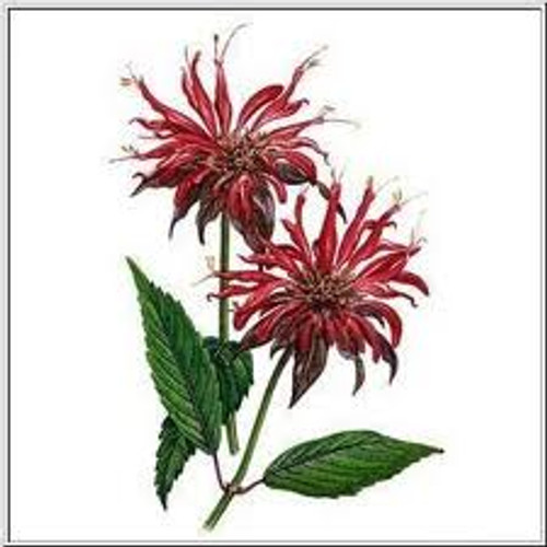 Bergamot Herb Cut 1/2 oz