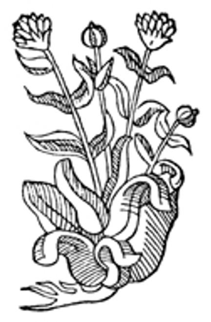 Marigold Flowers (Calendula) .3 oz