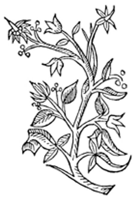 Honeysuckle Flowers  1/2 oz