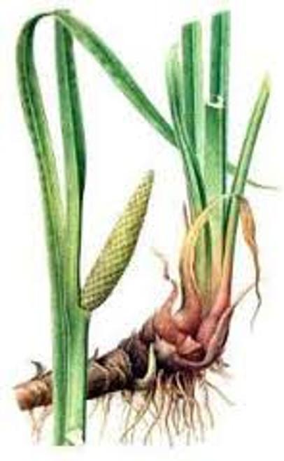 Calamus Root, Cut  1 oz