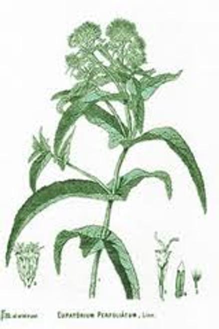 Boneset Herb, Cut  1/2 oz