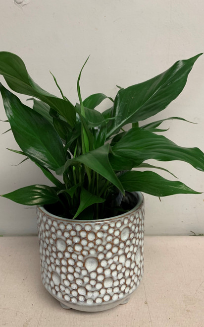 Peace Lily with a beautiful ceramic pot