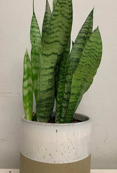 "6"" Sansevieria in earthy ceramic pot"