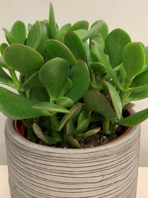 "6"" Jade Plant in a beautiful ceramic pot"