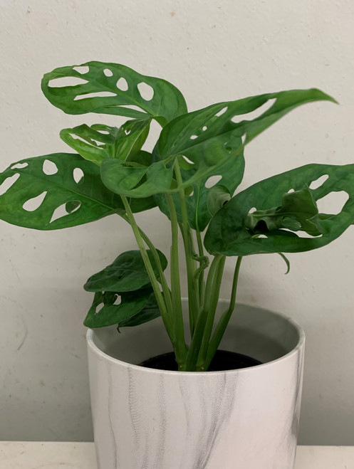 """4"""" Philodendron Swiss Cheese"""
