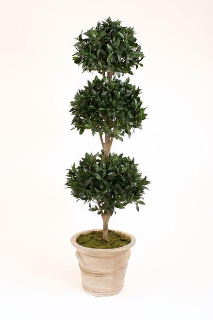 6.5' Sweet Bay Laurel 3-Ball Topiary