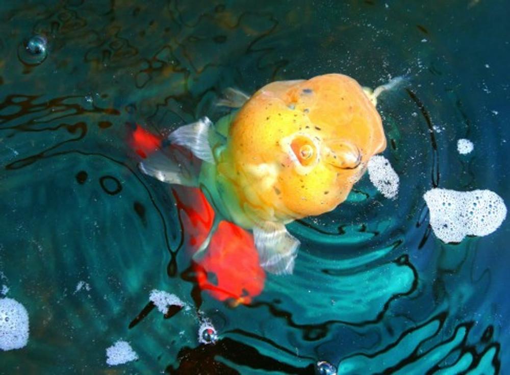 goldfish water tests
