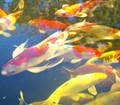 koi fish from 20cm