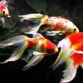goldfish from 20cm