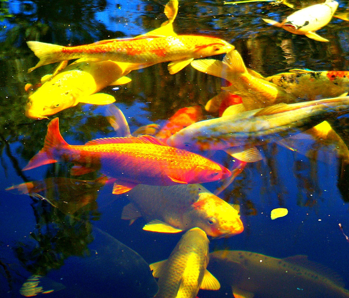 """Pond fish dying in hot weather? """"Fix it Now"""""""