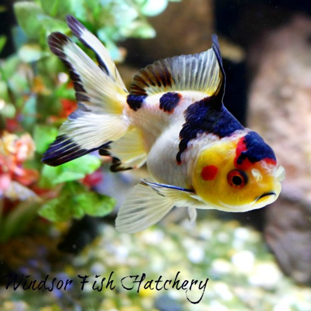 "common mistakes when keeping goldfish ""Here's the Truth"""