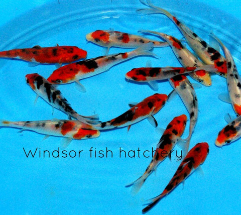 Treatment and care of common koi diseases