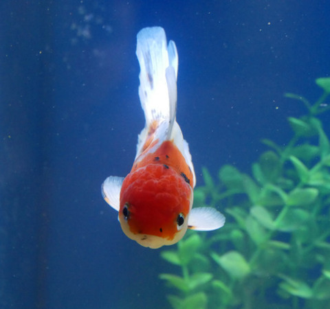 Keeping Oranda Goldfish