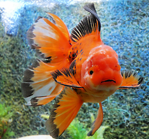 Whats the most popular goldfish we sell?